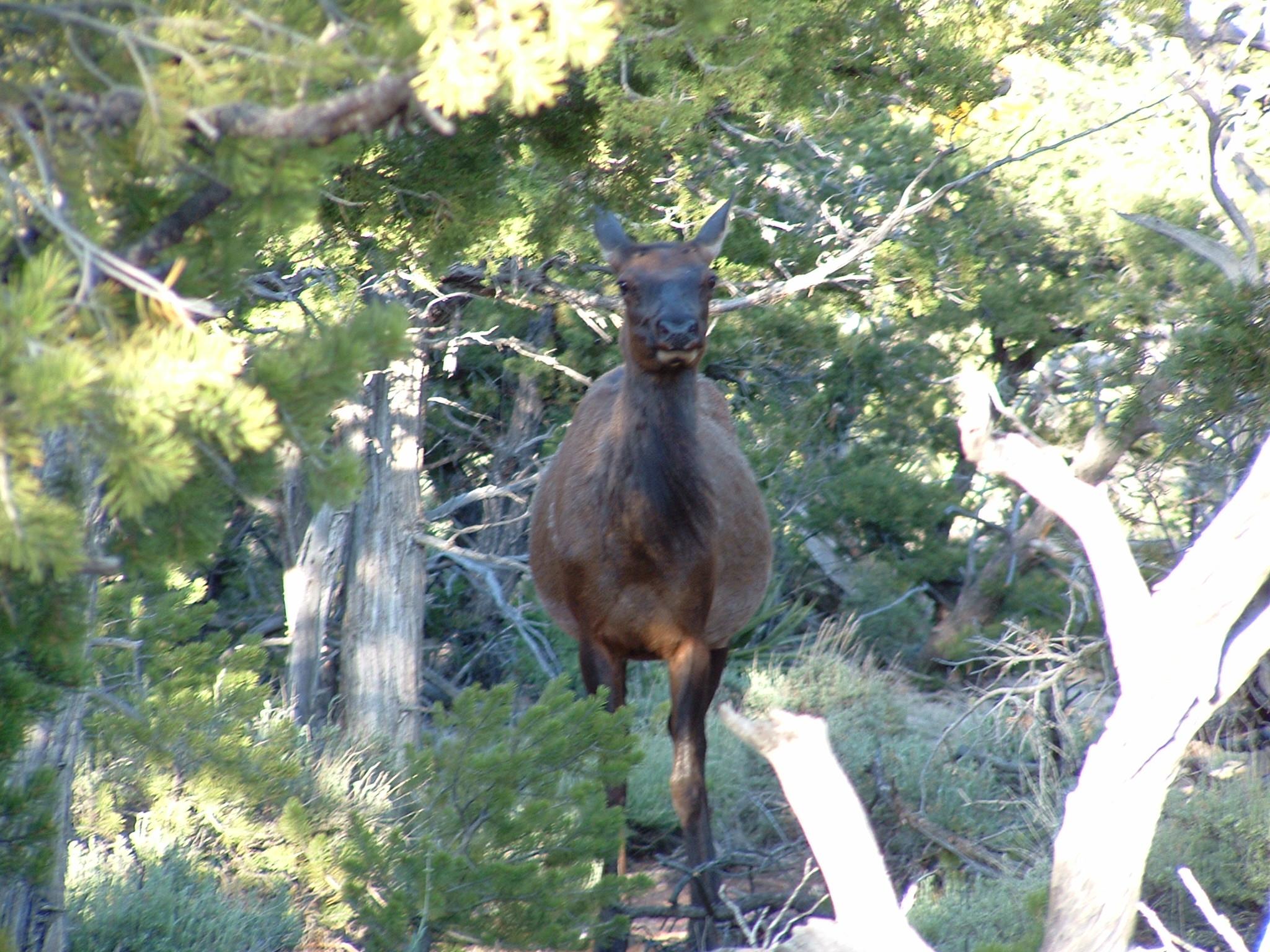 Elk facing camera.