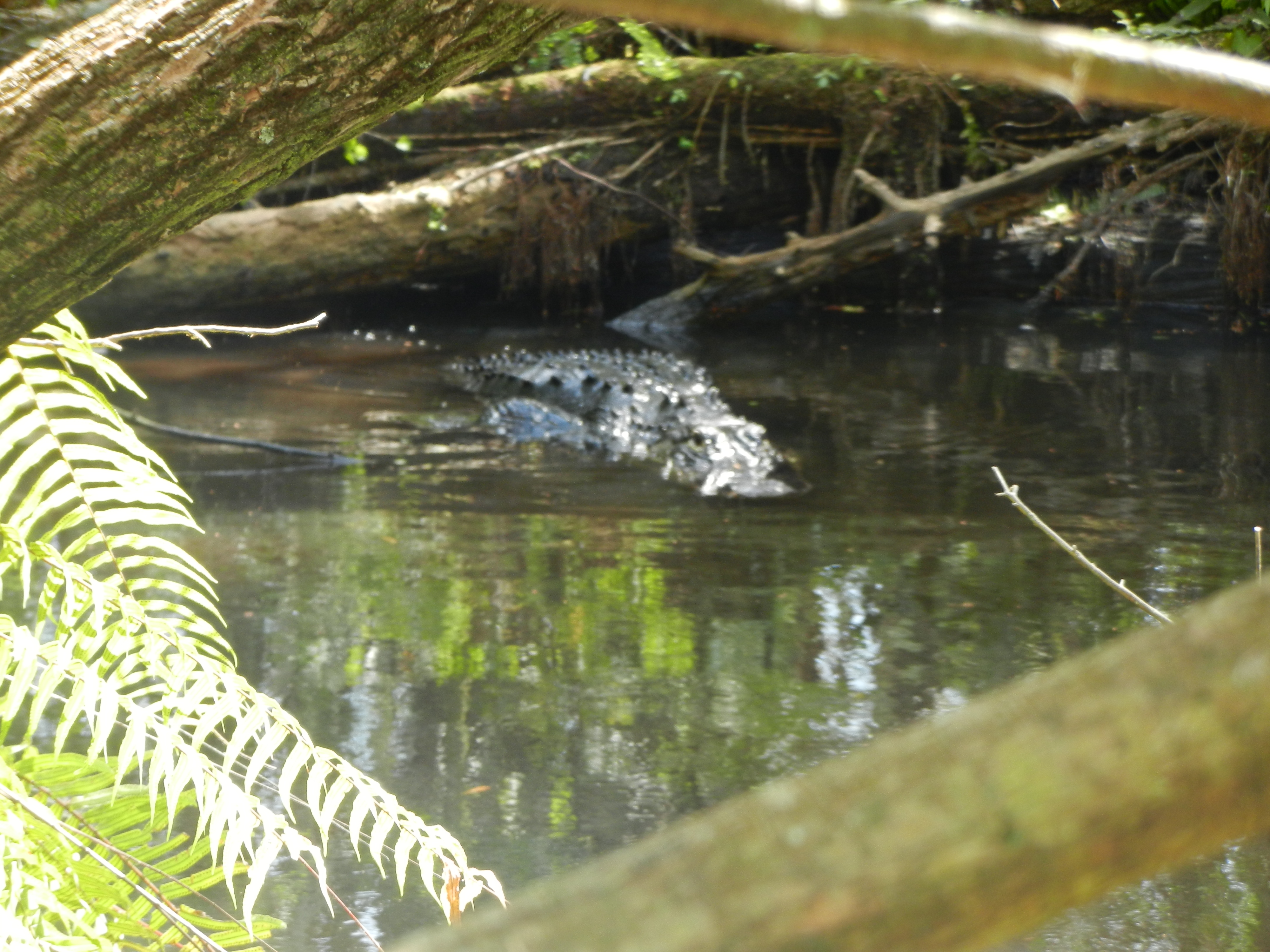 Alligator floating in the water near a log.