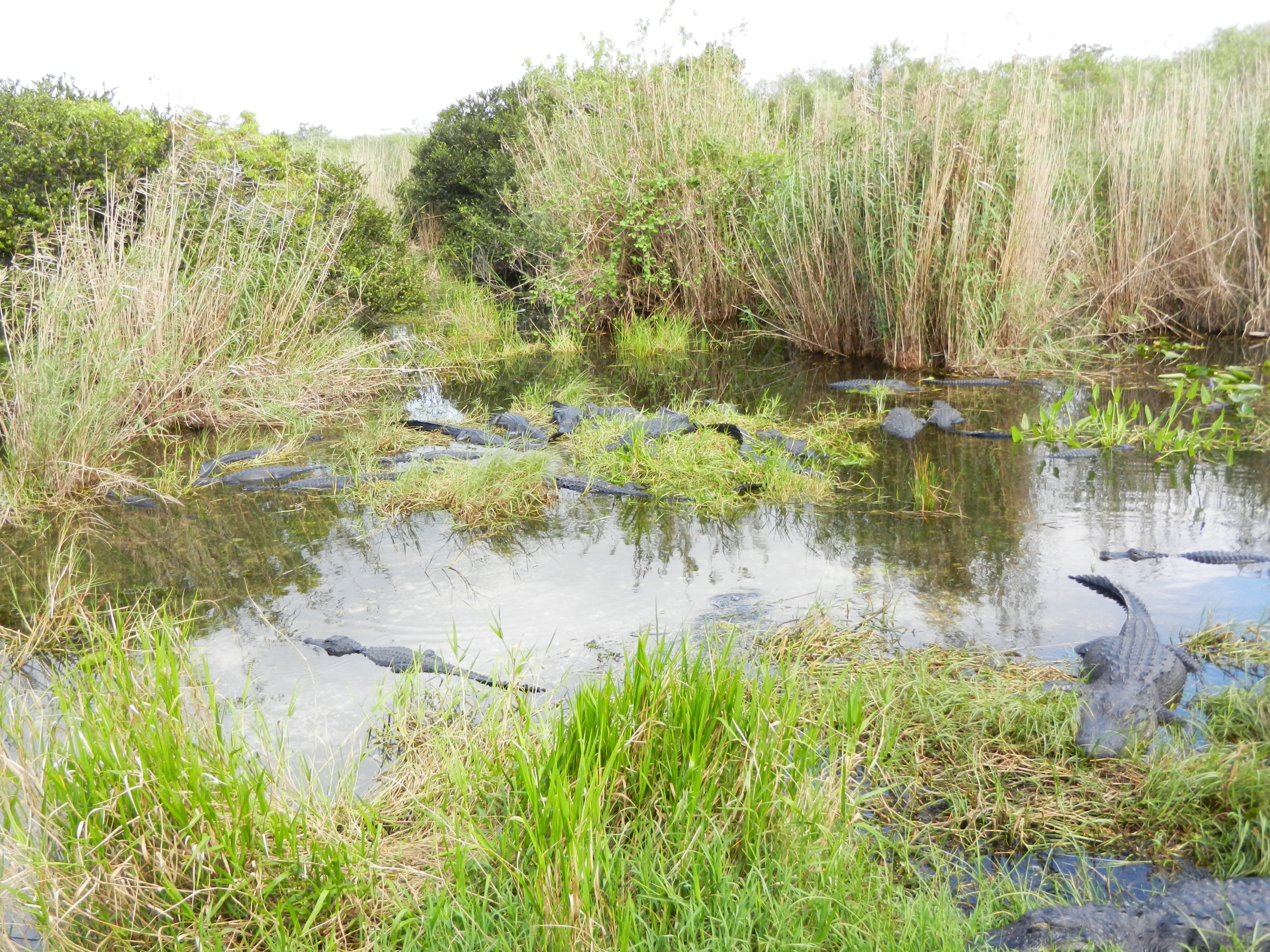 Large group of alligators in a marshy area.