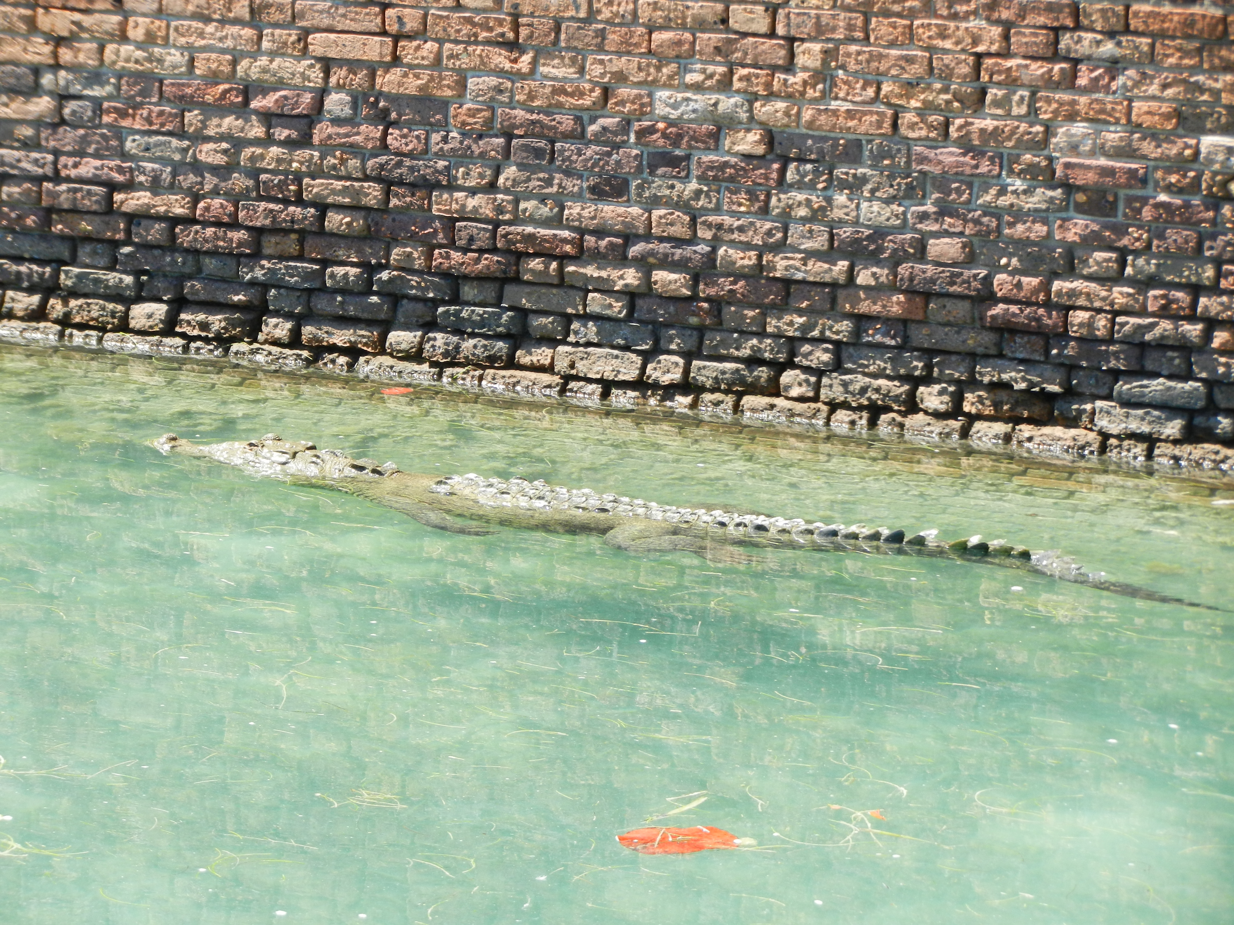 Salt water crocodile wading through the water in a moat.