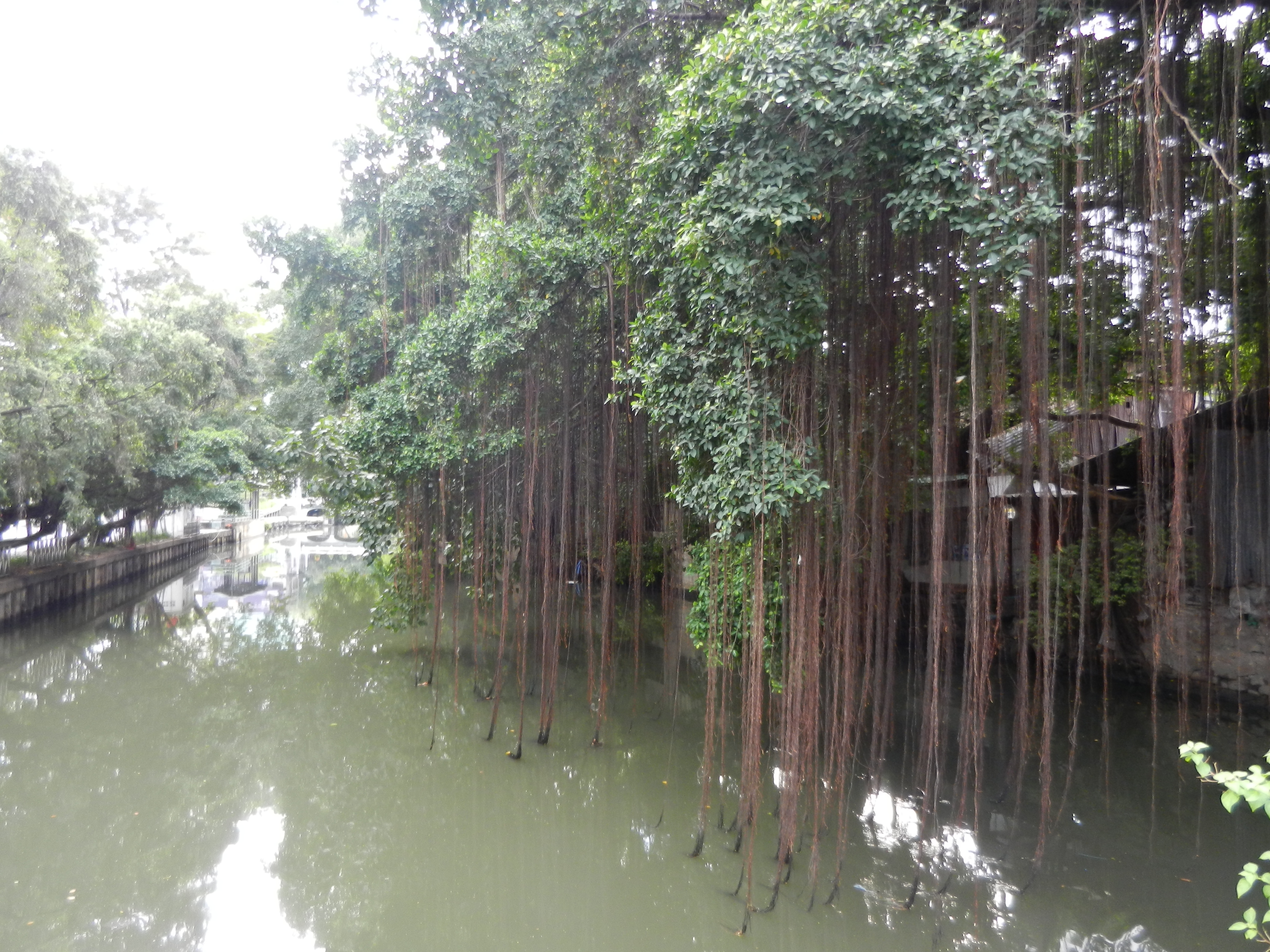 Water canal with native Asian tree hanging over it.