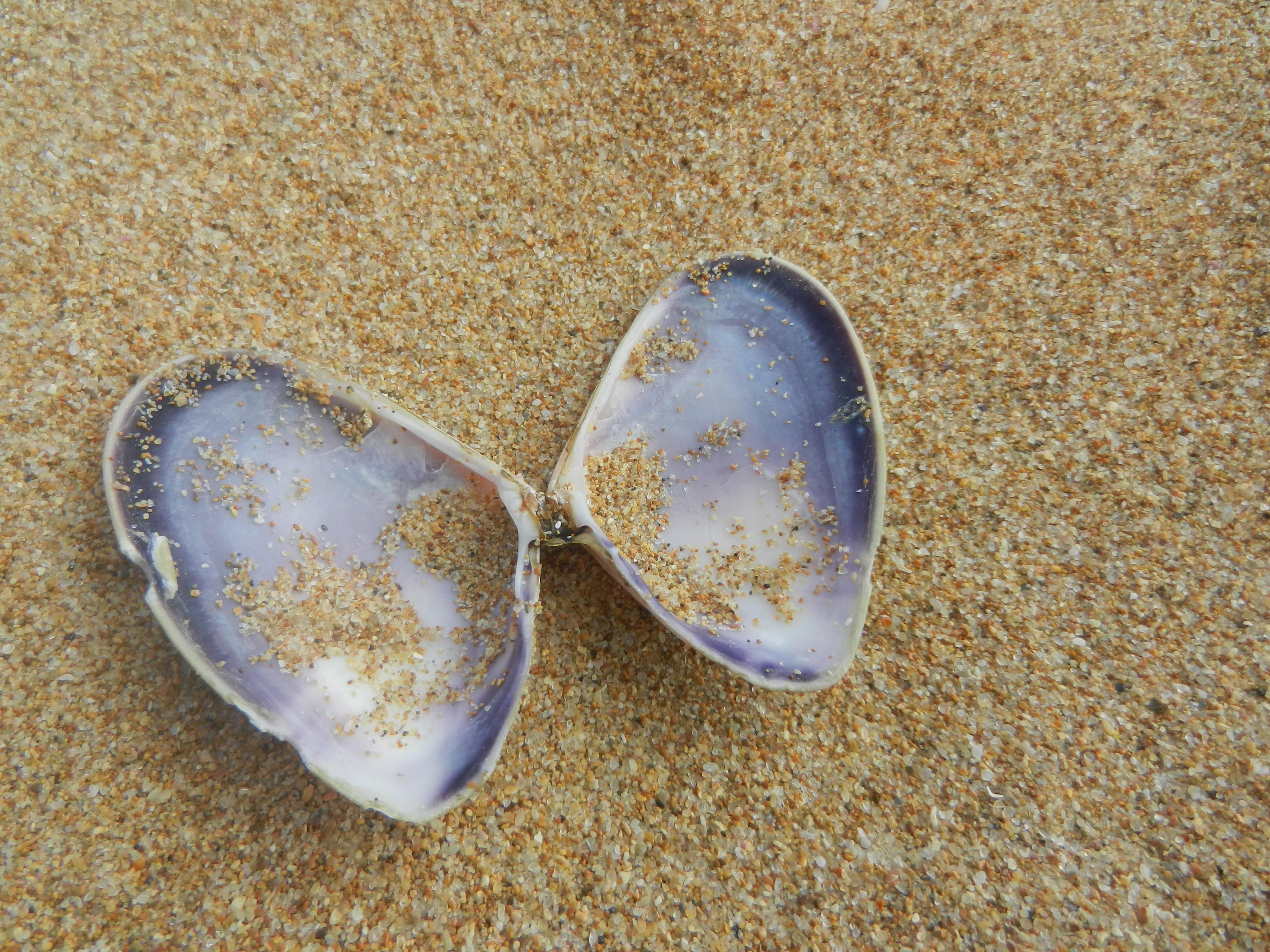 Open purple colored clam shell laying on the beach in the shape of a butterfly.