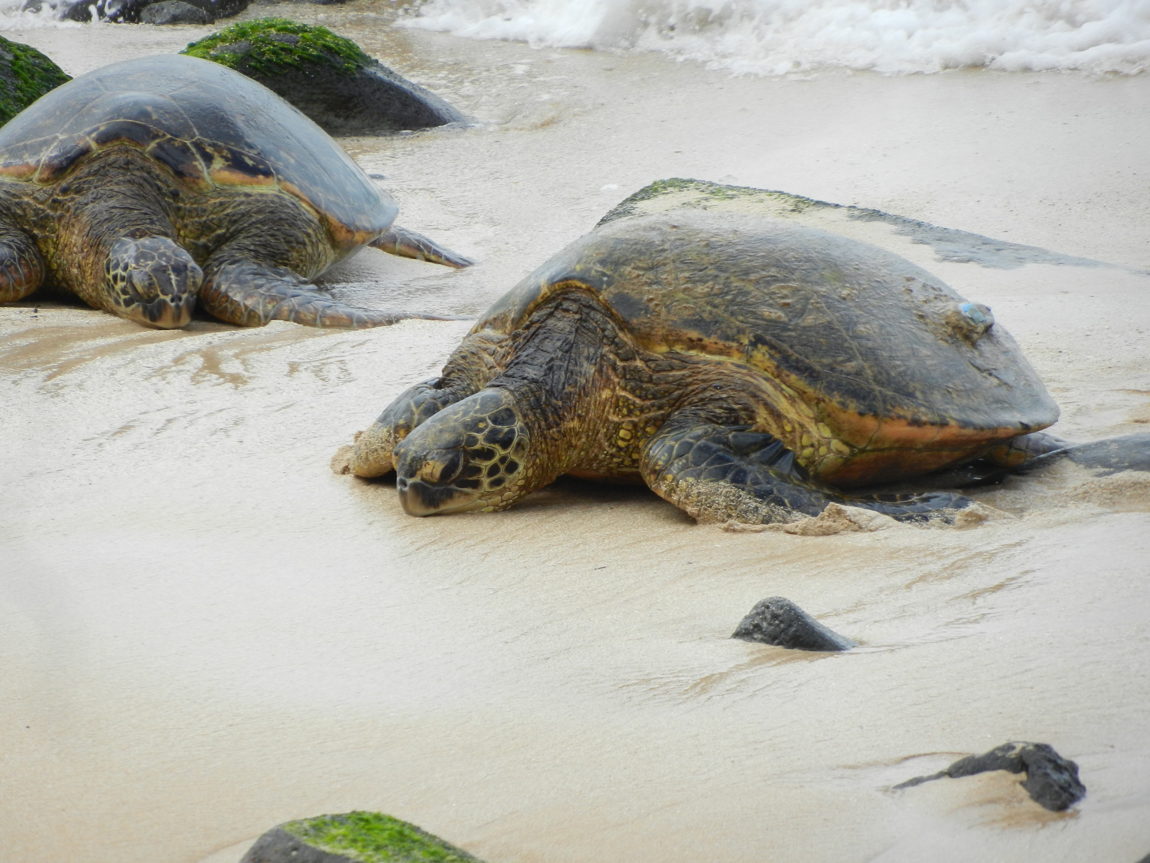 Two sea turtles laying on a beach.