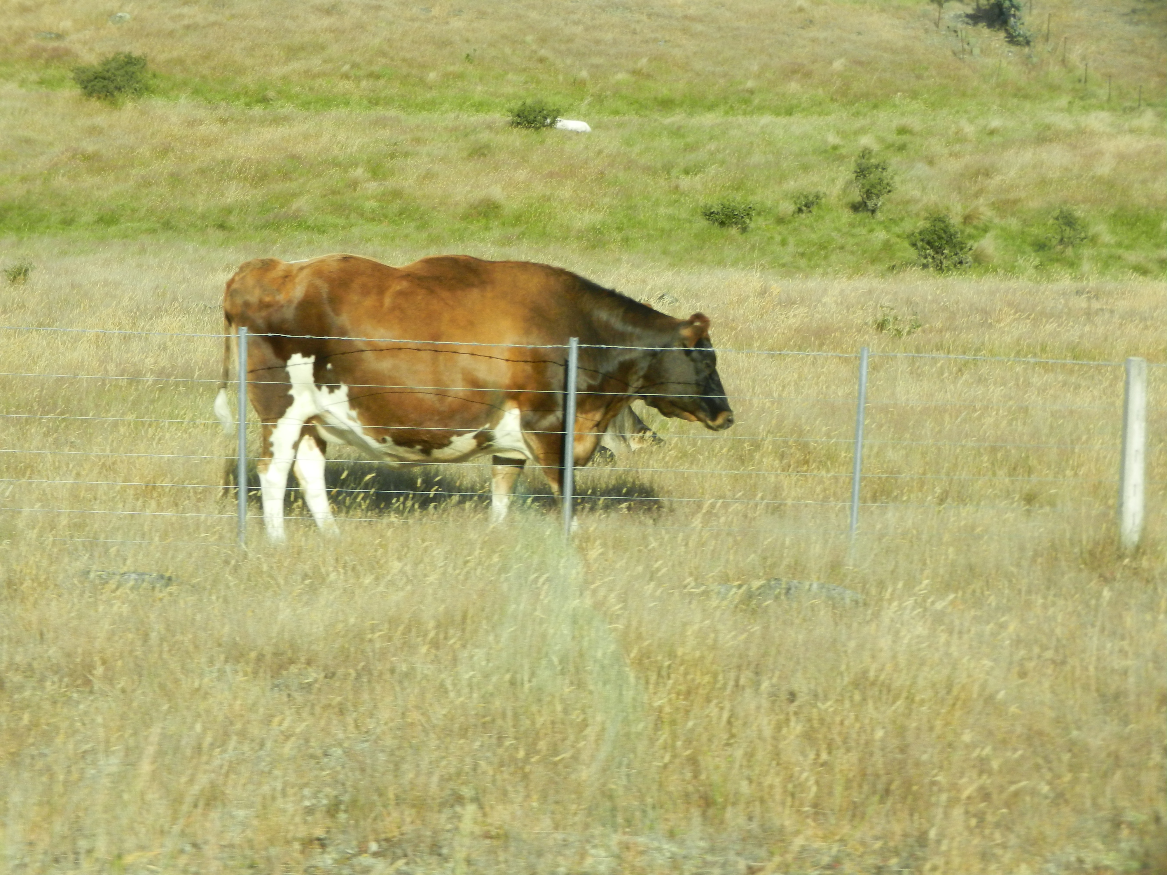 Large brown and white cow standing in a pasture.