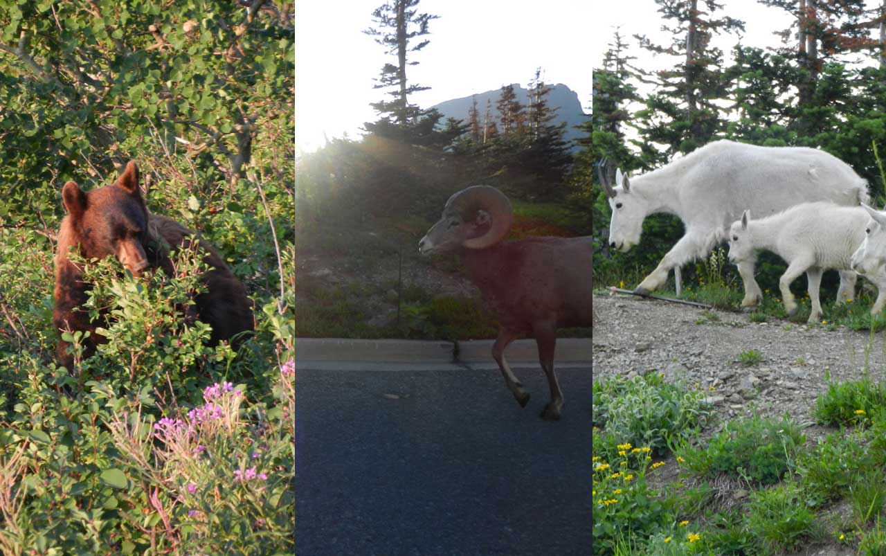Collage of three photos. Cinnamon colored black bear on the left, big horn sheep in the middle, and family of three mountain goats on the right.
