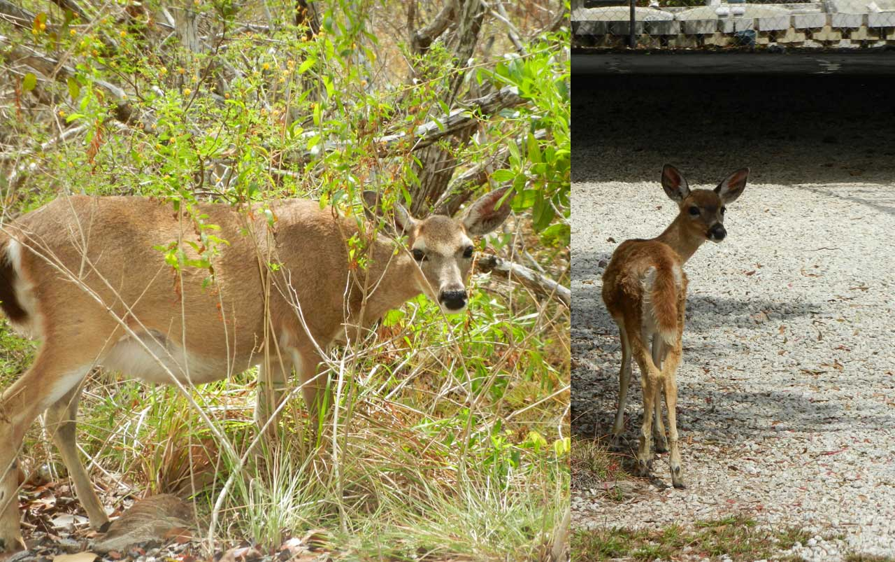 Collage of two photos. Adult female deer on the left. Young fawn on the right.