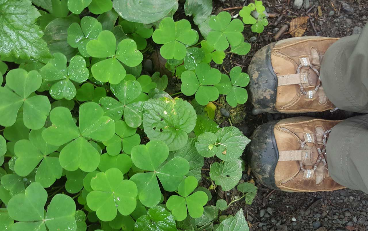 Woman's feet wearing brown hiking boots on the left standing at the base of a patch of large green clovers.