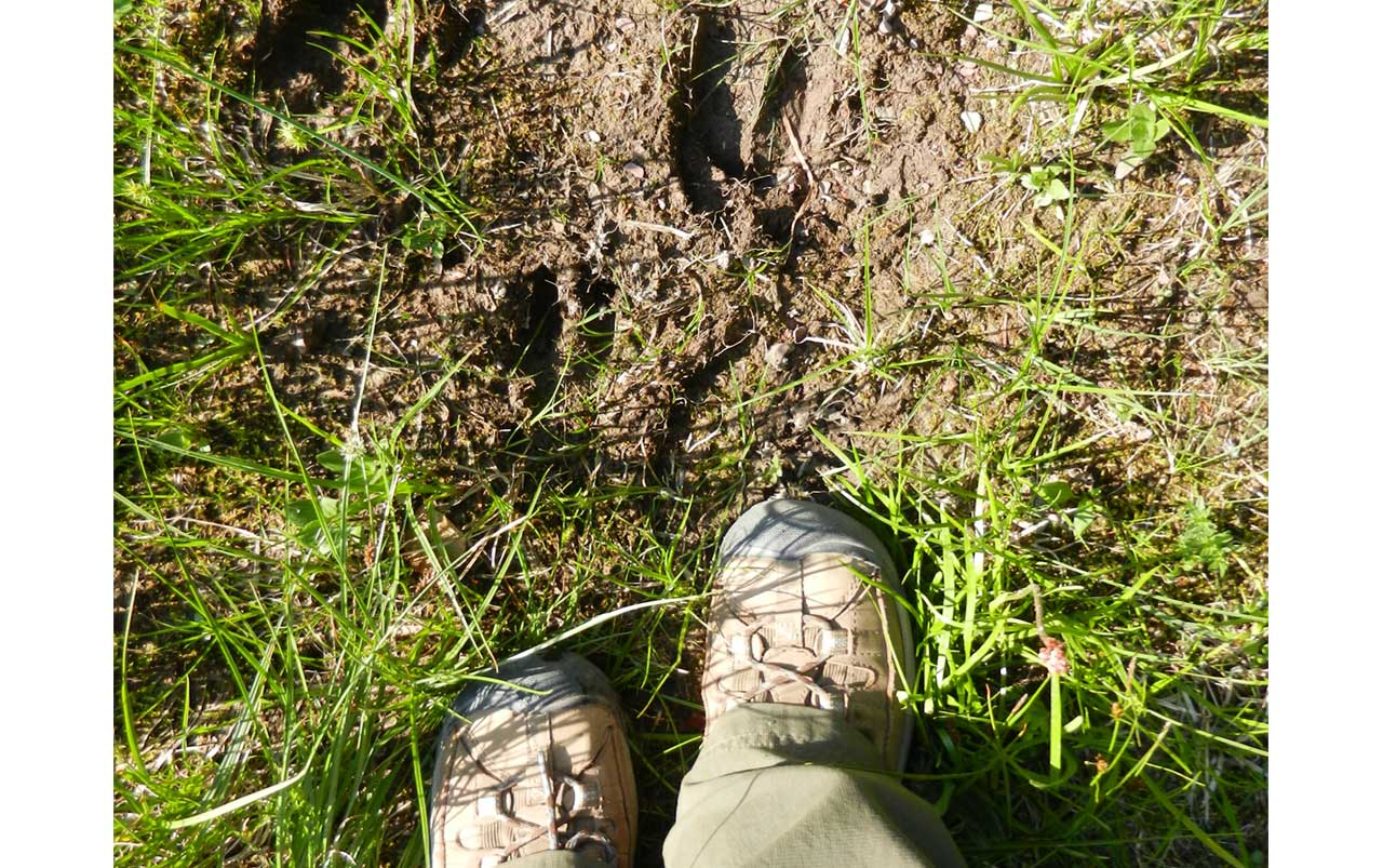 Woman's feet wearing brown hiking boots standing in grass next to moose tracks in mud.