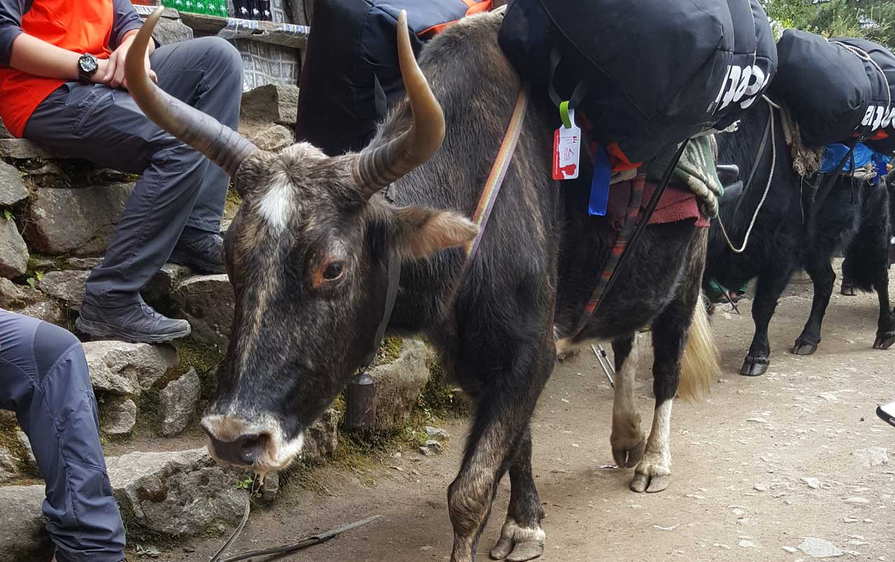 Black cow with horns carrying large duffle bags on its back walking down a trail with a line of cows following.